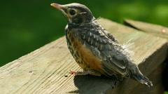 4K American Robin (Turdus migratorius) Fledgling 2 Stock Footage