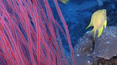 Golden damsel swimming, Amblyglyphidodon aureus, HD, UP16795 Stock Footage