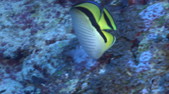 Criss-cross butterflyfish feeding, Chaetodon vagabundus, HD, UP16799 Stock Footage