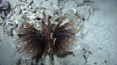 Common lionfish swimming at night, Pterois volitans, HD, UP16812 Stock Footage