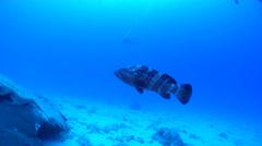 Malabar grouper swimming, Epinephelus malabaricus, HD, UP16815 Stock Footage