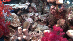 Leaf scorpionfish flopping, Taenianotus triacanthus, HD, UP16819 Stock Footage