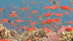 Female adult Scalefin anthias swimming, Pseudanthias squamipinnis, HD, UP16832 Stock Footage