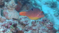Bluespot toby swimming, Canthigaster solandri, HD, UP16850 Stock Footage