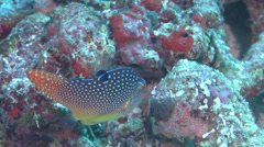 Bluespot toby swimming, Canthigaster solandri, HD, UP16854 Stock Footage