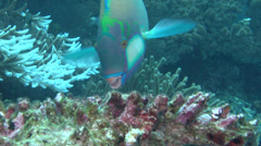 Cleaner wrasse feeding, Labroides dimidiatus, HD, UP16856 Stock Footage