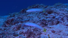 Spot-tail dartfish hovering on sand and coral rubble, Ptereleotris heteroptera, Stock Footage