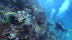 Semicircle angelfish feeding on deep coral reef, Pomacanthus semicirculatus, HD, Stock Footage