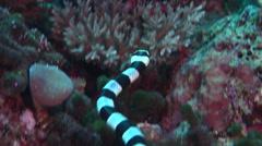 Banded sea krait hunting, Laticauda colubrina, HD, UP16945 Stock Footage