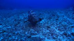 Malabar grouper swimming in deep water passage, Epinephelus malabaricus, HD, Stock Footage