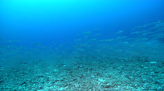Bigeye barracuda swimming and schooling in deep water passage, Sphyraena Stock Footage