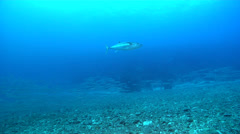 Dogtooth tuna swimming in deep water passage, Gymnosarda unicolor, HD, UP17010 Stock Footage