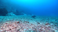 Malabar grouper in deep water passage, Epinephelus malabaricus, HD, UP17013 Stock Footage