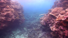 Ocean scenery hard coral garden, on shallow coral reef, HD, UP17056 Stock Footage