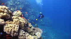 Lone diver swaying on shallow coral reef with Slingjaw wrasse Scalefin anthias Stock Footage