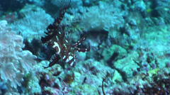 Juvenile Rockmover wrasse swimming, Novaculichthys taeniourus, HD, UP17086 Stock Footage