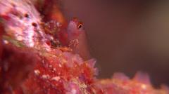 Ear-spot pygmygoby, Eviota smaragdus, HD, UP17090 Stock Footage