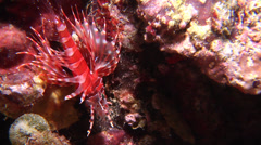 Juvenile Zebra lionfish at night, Dendrochirus zebra, HD, UP17123 Stock Footage