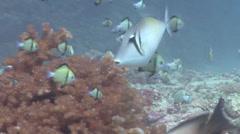 Scythe triggerfish swimming, Sufflamen bursa, HD, UP17157 Stock Footage