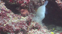 Scythe triggerfish feeding, Sufflamen bursa, HD, UP17158 Stock Footage