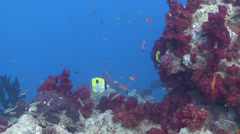 Teardrop butterflyfish swimming, Chaetodon unimaculatus, HD, UP17168 Stock Footage