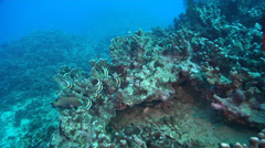 Humphead bannerfish hovering and schooling on ancient single species coral Stock Footage