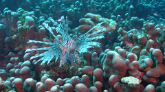 Common lionfish hovering, Pterois volitans, HD, UP17175 Stock Footage