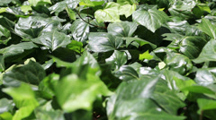 ivy leaves - stock footage