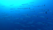 Stock Video Footage of Fish | Barracudas | Blackfin Barracuda | Bluewater | Wide Shot