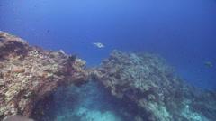 Blue-spotted pufferfish swimming, Arothron caeruleopunctatus, HD, UP17224 Stock Footage