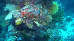 Poss's scorpionfish swimming on deep wall, Scorpaenopsis possi, HD, UP17308 Stock Footage