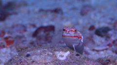 Redspotted sandperch, Parapercis schauinslandii, HD, UP17375 Stock Footage