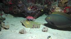 Blue-spotted lagoon ray feeding at night, Taeniura lymma, HD, UP17475 Stock Footage