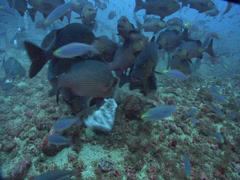 Giant trevally feeding and schooling on deep coral rubble, Caranx ignobilis, HD, Stock Footage