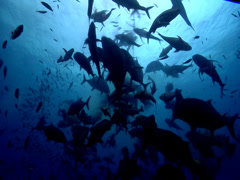 Ocean scenery ball of fish surround feeder, local divemaster with food bins Stock Footage