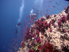 Lone diver swimming on coral bommie with Variable soft coral Scalefin anthias in Stock Footage