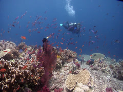 Distant scuba diver on shallow coral reef in Fiji Islands, HD, UP17605 Stock Footage