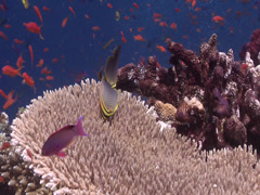 Triangular butterflyfish feeding, Chaetodon baronessa, HD, UP17609 Stock Footage
