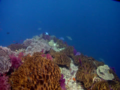Bluefin trevally hunting on shallow coral reef, Caranx melampygus, HD, UP17617 Stock Footage
