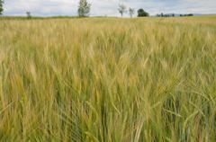 A field of ripe barley Stock Photos