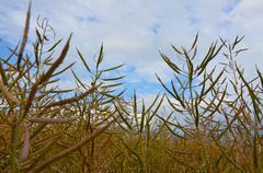 Oilseed rape Stock Photos