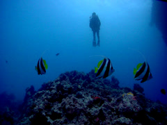 Lone diver swimming on coral bommie with Longfin bannerfish in Fiji Islands, HD, Stock Footage