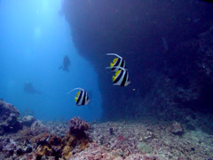Longfin bannerfish swimming on deep coral reef, Heniochus acuminatus, HD, Stock Footage