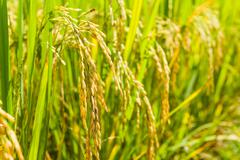 paddy rice of thai in filed - stock photo