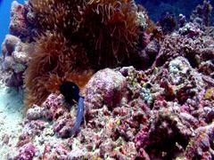 Threespot damsel laying eggs, Dascyllus trimaculatus, HD, UP17665 Stock Footage