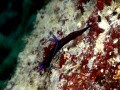 Blue gill orange line black slug walking at dusk, Roboastra gracilis, HD, Stock Footage