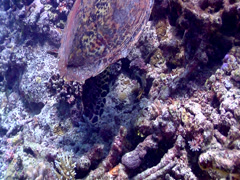 Cleaner wrasse swimming on shallow rubble, Labroides dimidiatus, HD, UP17701 Stock Footage