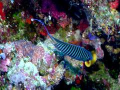 Male adult Blackspot angel swimming, Genicanthus melanospilos, HD, UP17707 Stock Footage