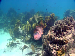 Yellowmargin triggerfish swimming in deep water passage, Pseudobalistes Stock Footage