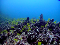 Common bluestripe snapper swimming and schooling, Lutjanus kasmira, HD, UP17754 Stock Footage